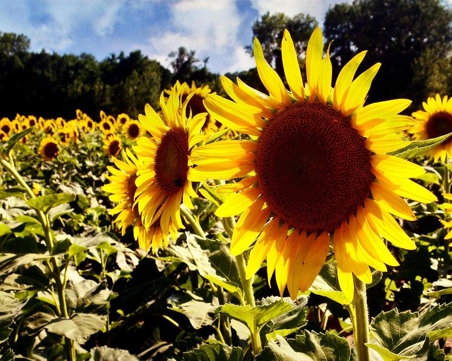 Sunflower 2 by Marty Koch