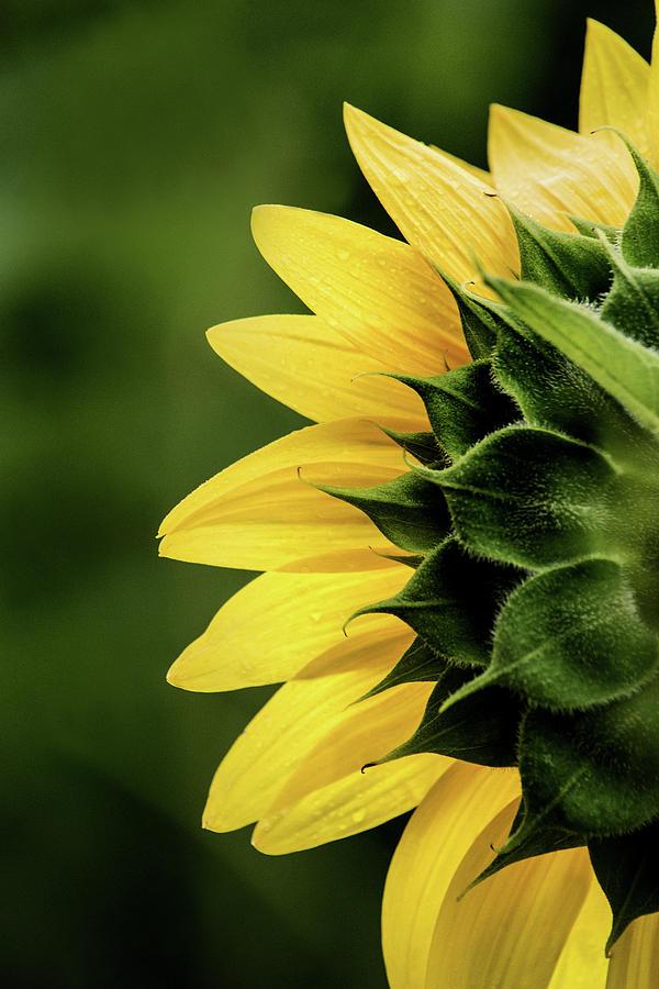 Sunflower Back by Don Johnson
