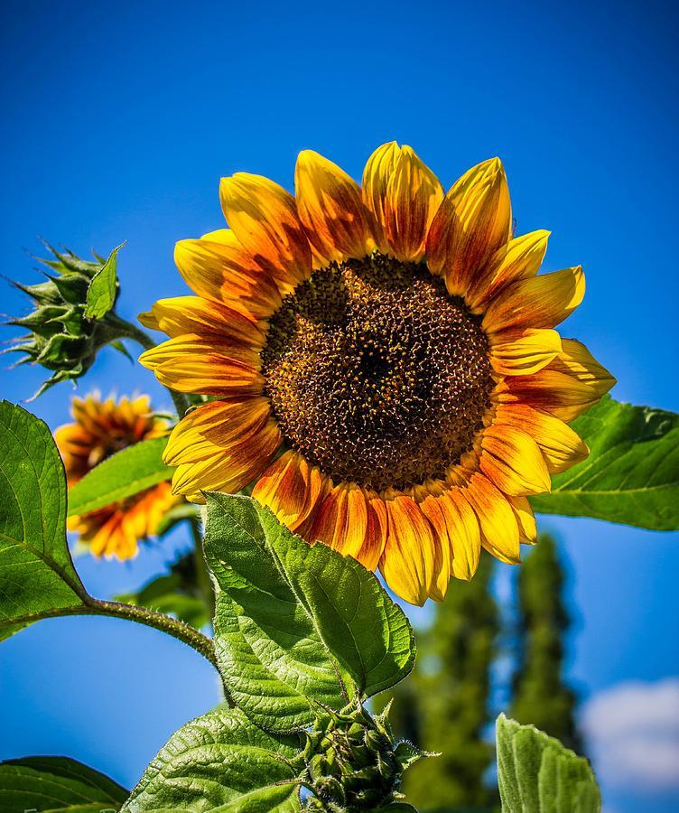 Sunflower Beauty Photograph