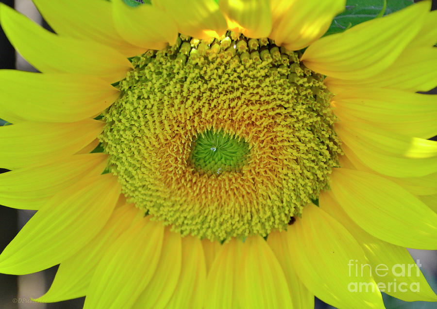 Plant Photograph - Sunflower by Debby Pueschel