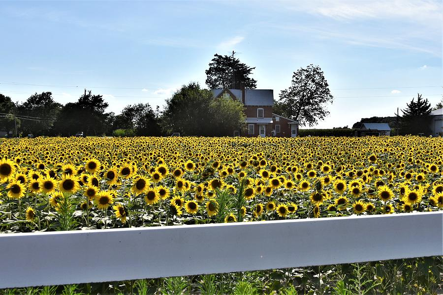 Sunflower Farm by Kim Bemis