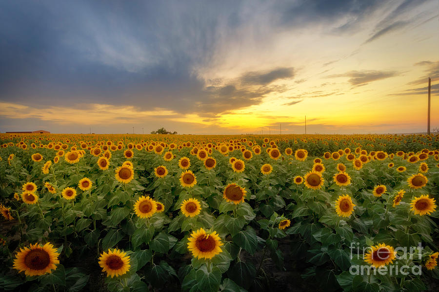 Sunflower Field at Sunset by Ronda Kimbrow