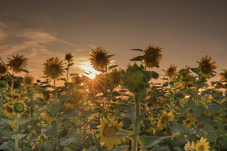 sunflower field by Nick Mares