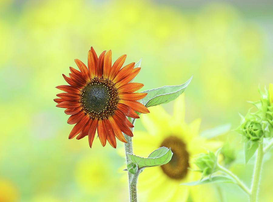 Sunflower Field by Rodney Campbell