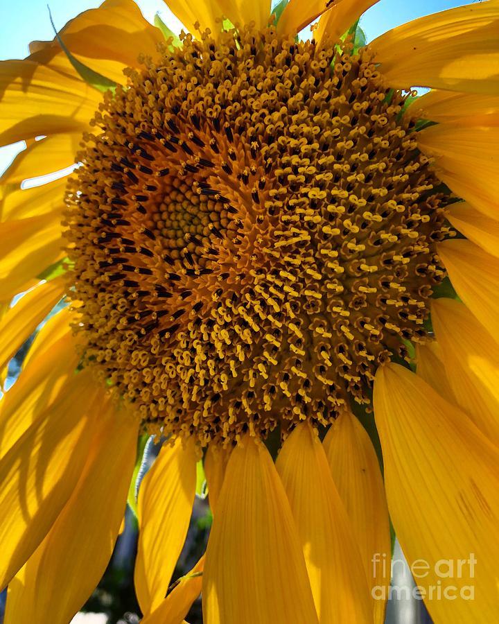 Sunflower Photograph - Sunflower In The Sun by Melissa OGara