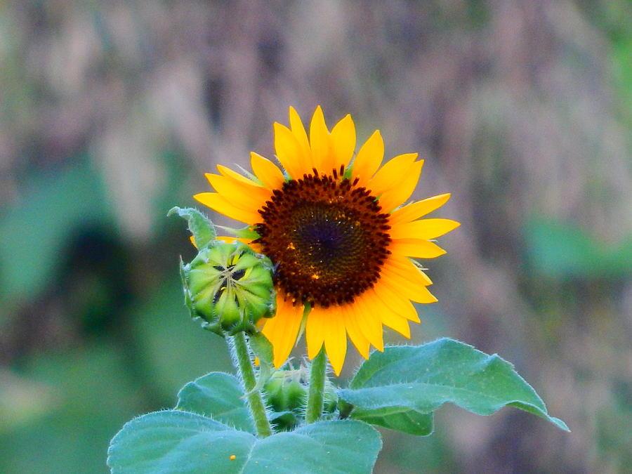 sunflower by Virginia Kay White