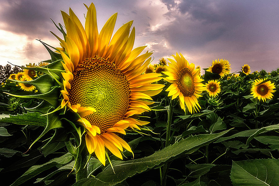 Sunflowers by Wolfgang Stocker