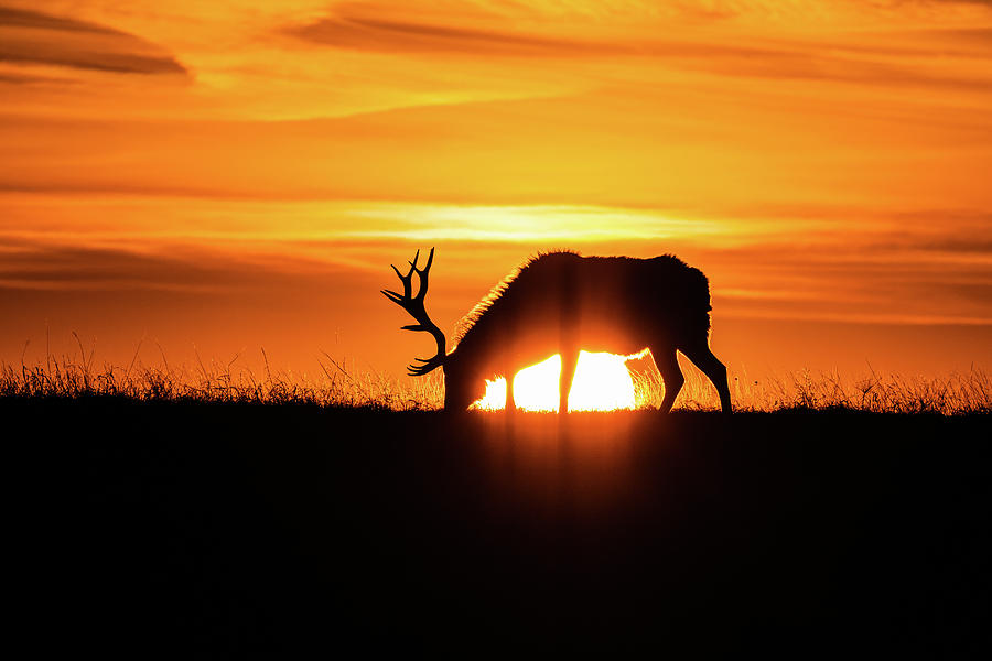 Sunrise Elk by Jay Stockhaus