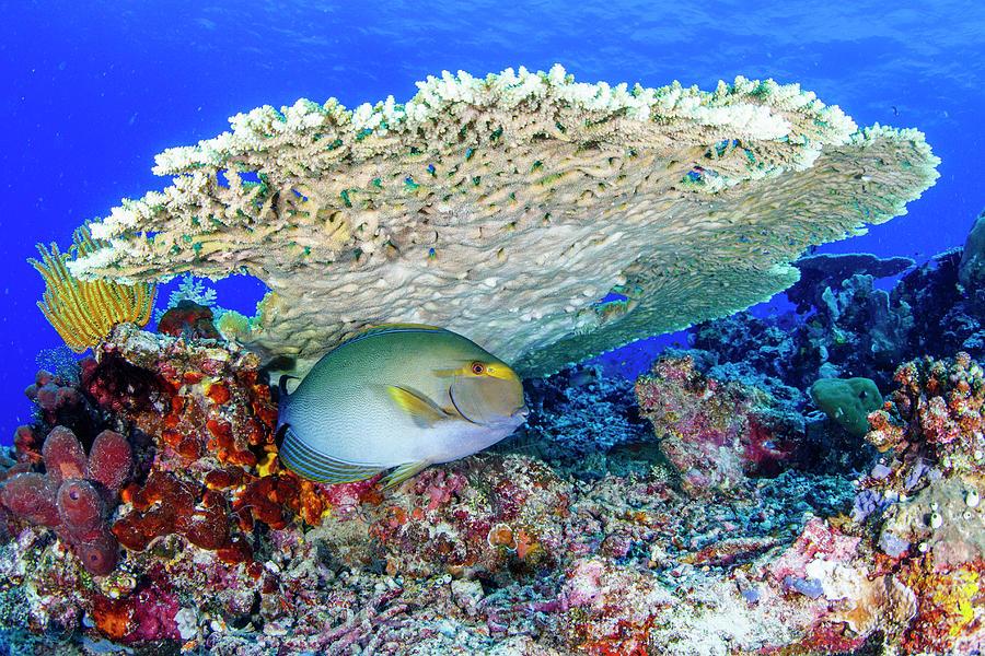 Surgeon Fish Photograph by Raimundo Fernandez Diez