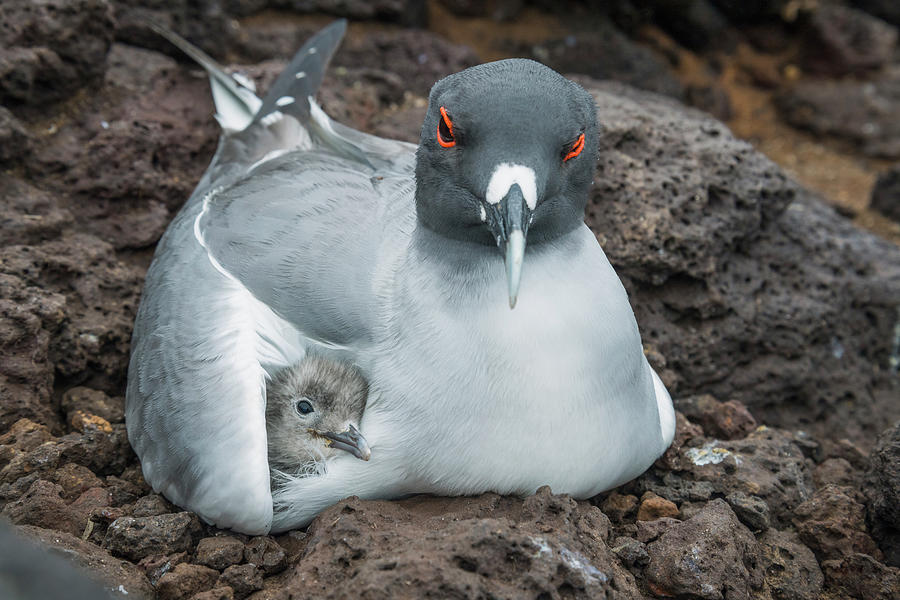 Swallow-tailed Gull Brooding Chick Photograph by Tui De Roy