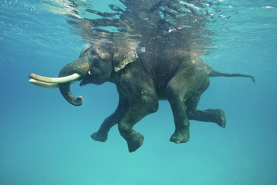 Swimming Elephant Photograph by Mike Korostelev  Www.mkorostelev.com