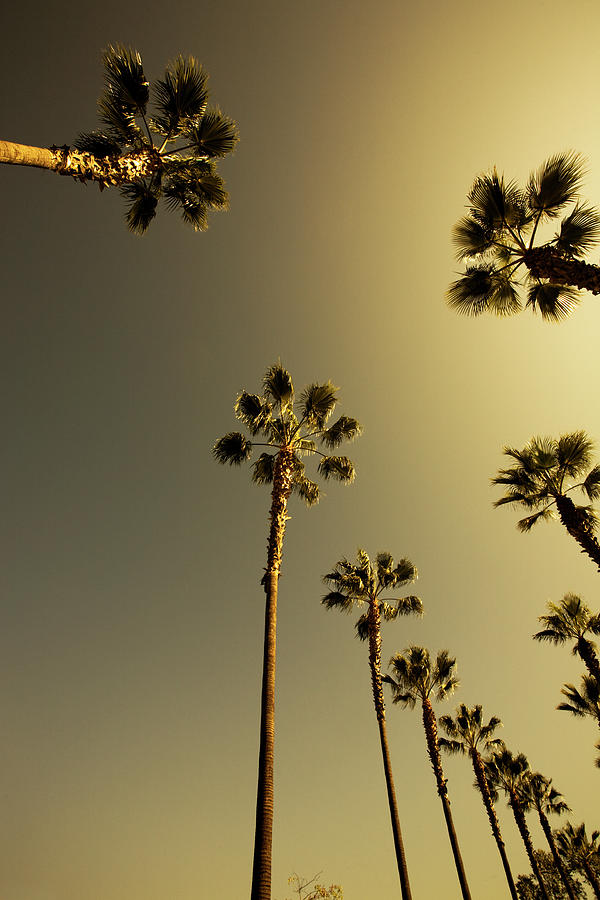 Tall Palm Trees In Beverly Hills Los Photograph by Lpettet