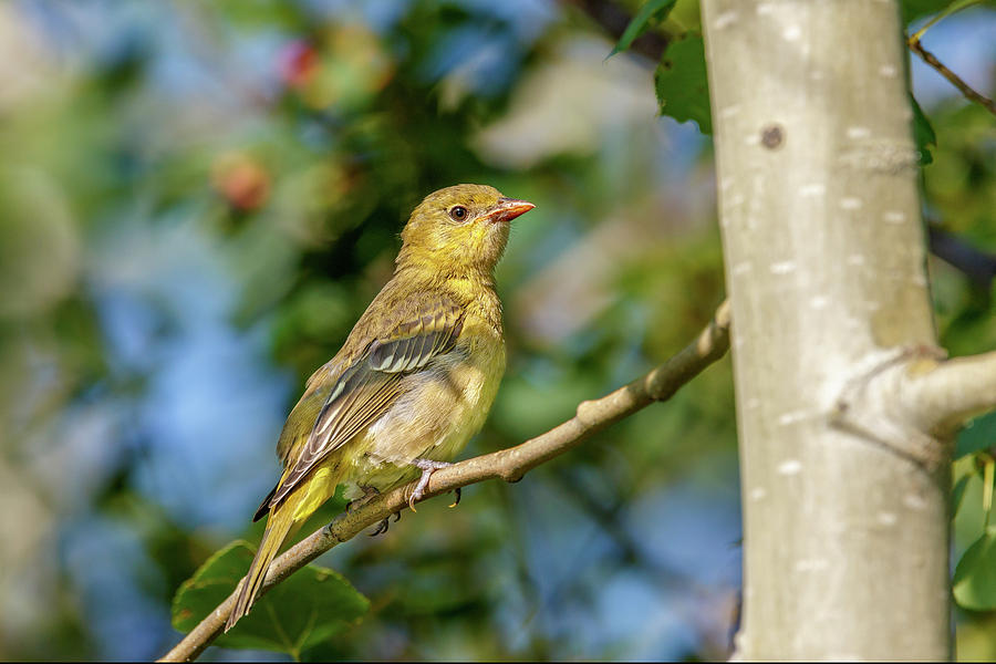 Tanager by Ronnie and Frances Howard