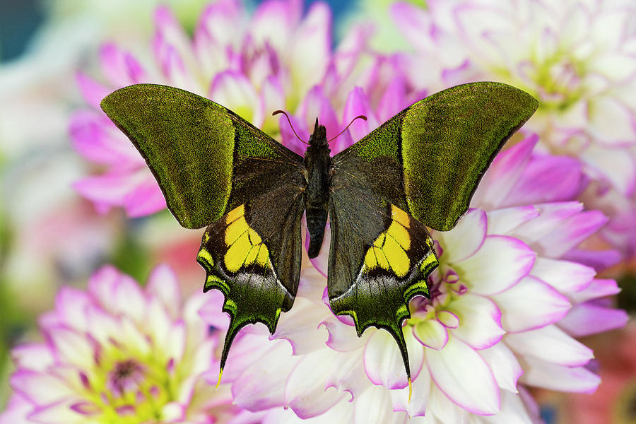 Butterfly Photograph - Teinopalpus Imperilalis Know by Darrell Gulin