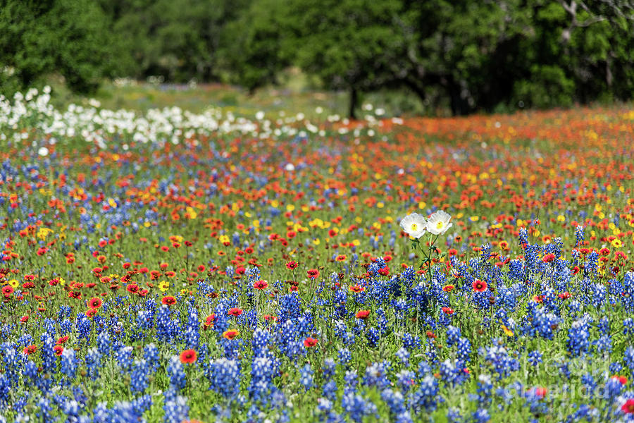 Texas Wildflowers by Paul Quinn