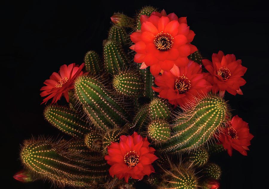 Cactus Flowers Photograph - The Beauty Of Red  by Saija Lehtonen
