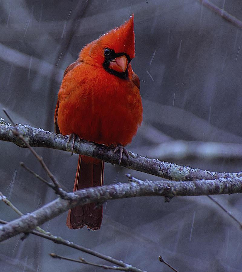 The Curious Cardinal  by John Harding