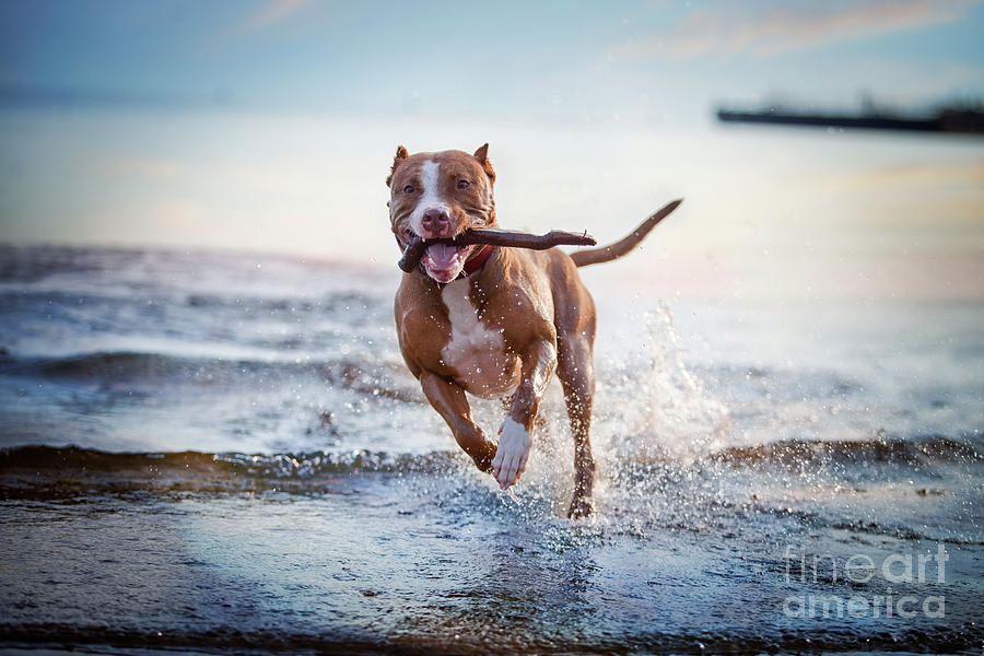 Play Photograph - The Dog In The Water, Swim, Splash by Dezy