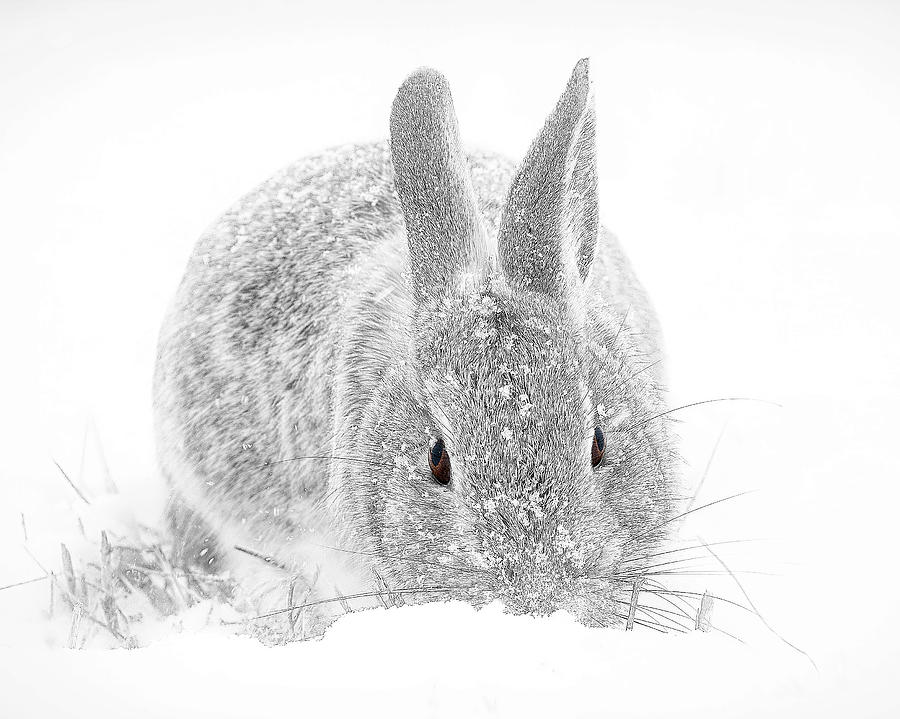 The eyes of a rabbit in the snow by Lowell Monke