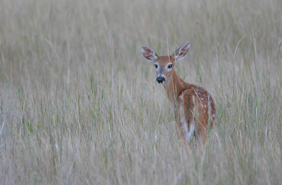 The Whitetail Fawn by Whispering Peaks Photography