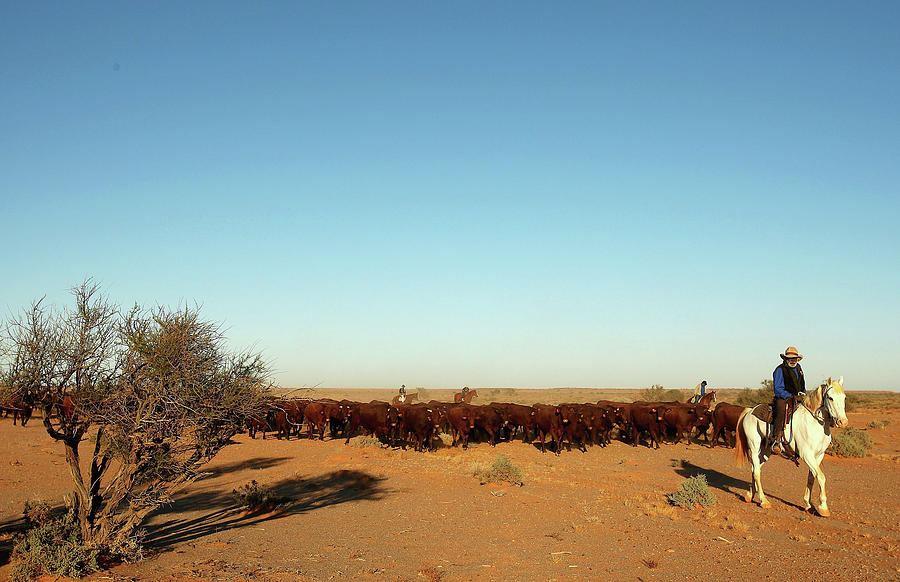 The Great Australian Outback Cattle Photograph by Quinn Rooney