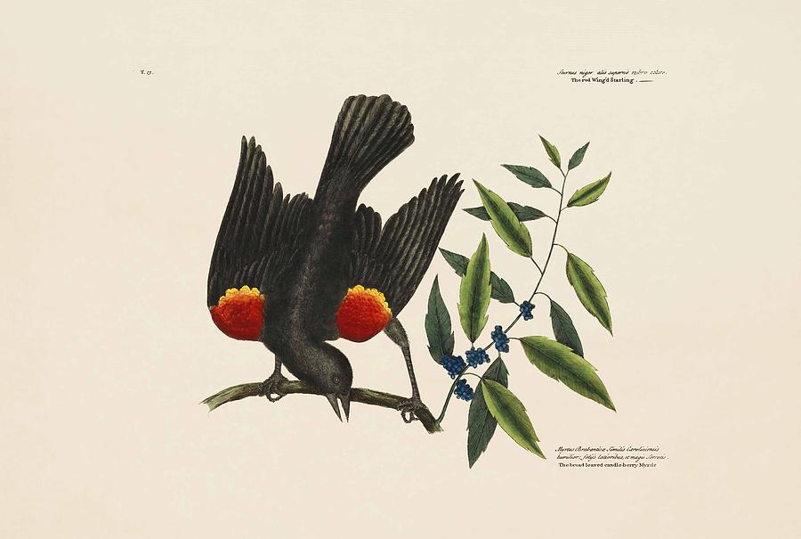 Mark Catesby Painting - The Red Wing D Starling  The Broad Leaved Can  by Mark Catesby