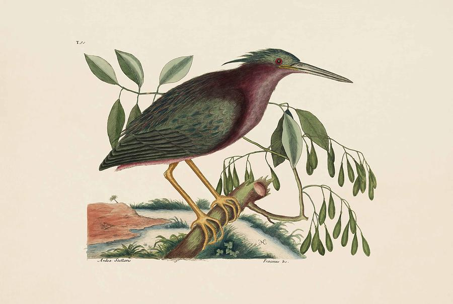 Mark Catesby Painting - The Small Bittern  The Natural History Of Carolina  Florida  And The Bahama Islands  by Mark Catesby