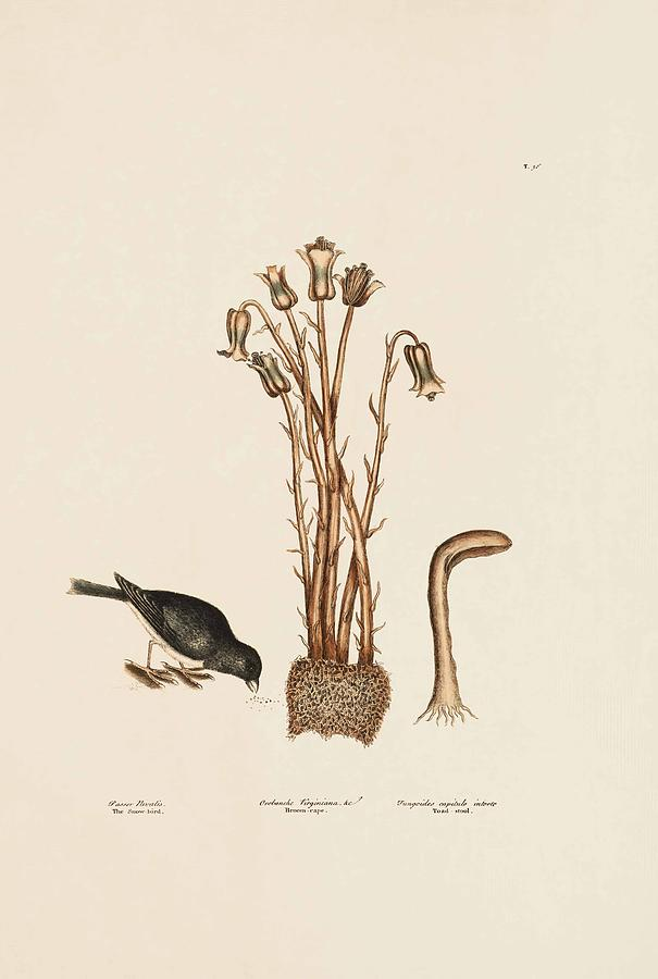 Mark Catesby Painting - The Snow Bird  Broom Rape  Toad Stool  The Natural History Of Carolin  by Mark Catesby