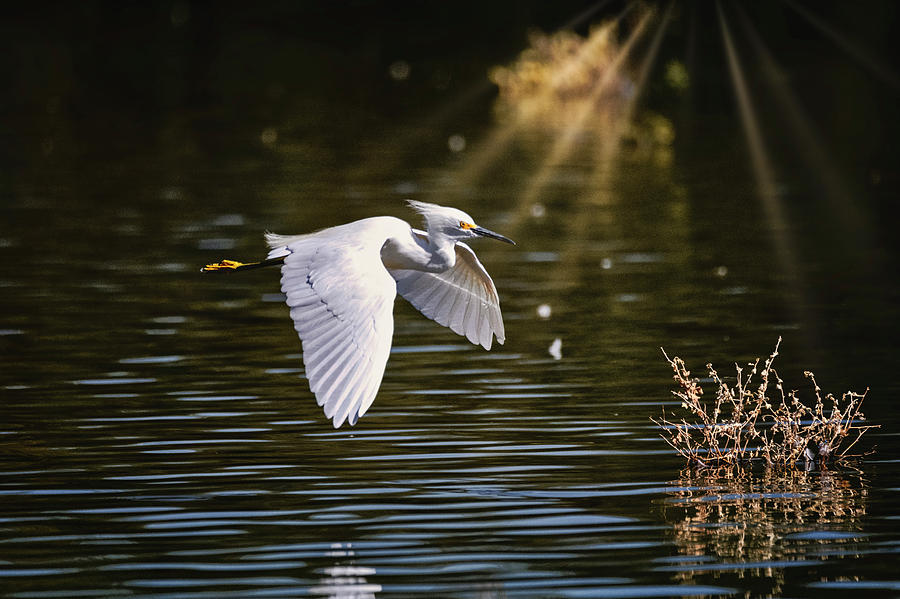 The Snowy Egret  by Saija Lehtonen