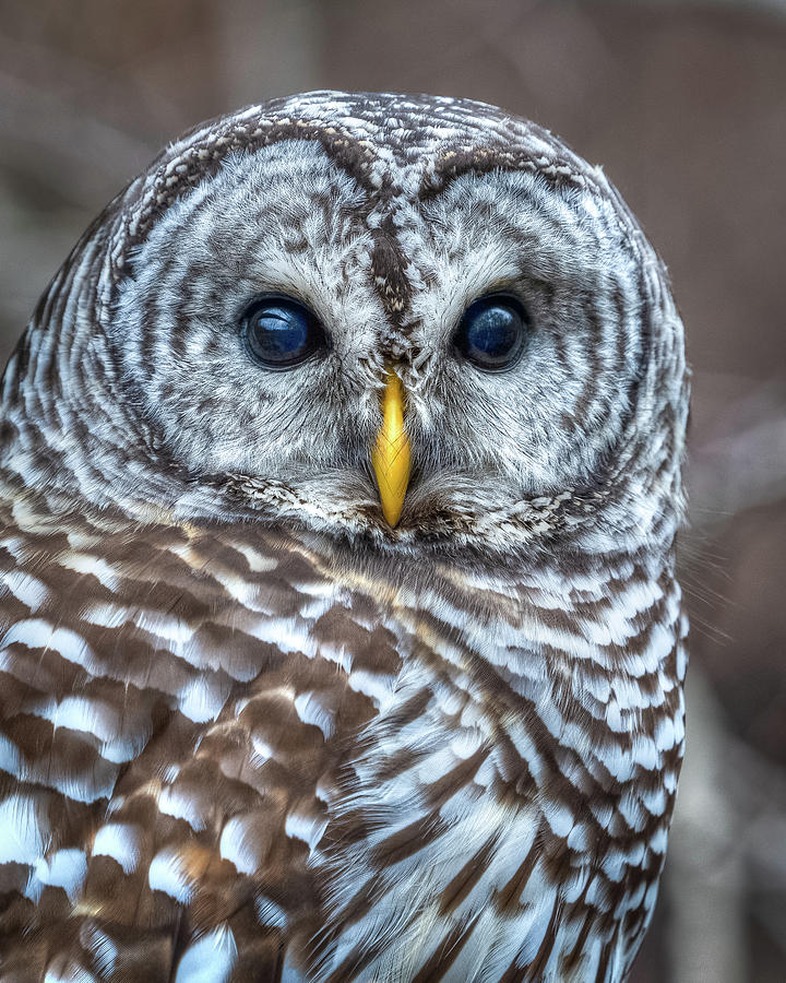 Barred Owl by Brad Bellisle