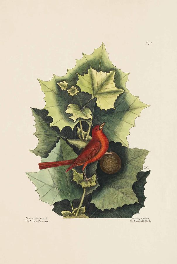 Mark Catesby Painting - The Summer Red Bird  The Western Plane Tree  The Natural Histo  by Mark Catesby