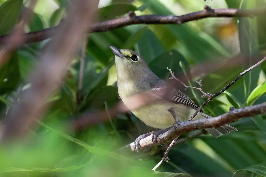 Thick Photograph - Thick-billed Vireo by Thomas Kallmeyer