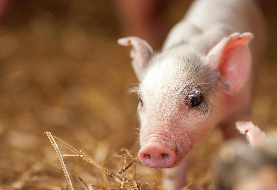This Little Piggy by Joye Ardyn Durham