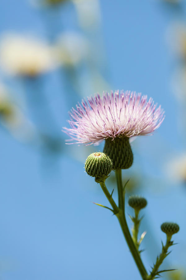 Vertical Photograph - Thistle With Blue Sky Background by Panoramic Images