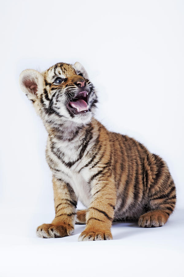 Tiger Cub Panthera Tigris Against White Photograph by Martin Harvey