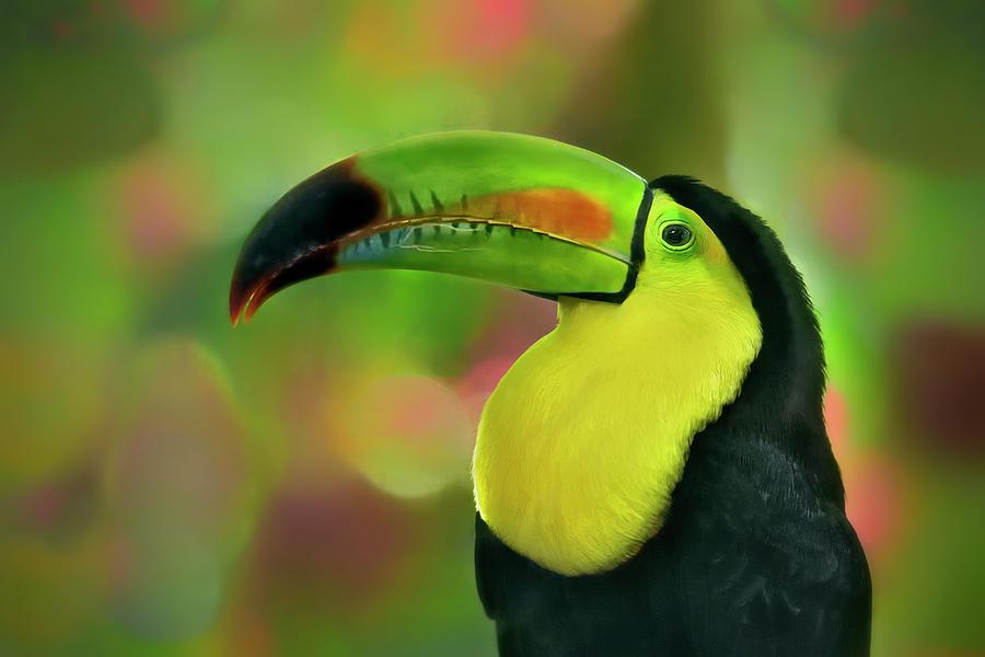 Toucan by Carol Eade