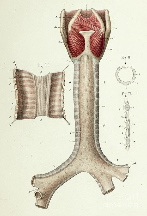Trachea And Bronchi Anatomy Photograph by Science Photo ...
