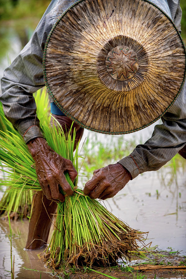 Transplanting Rice, Nakhon Nayok, Thailand by Lee Craker