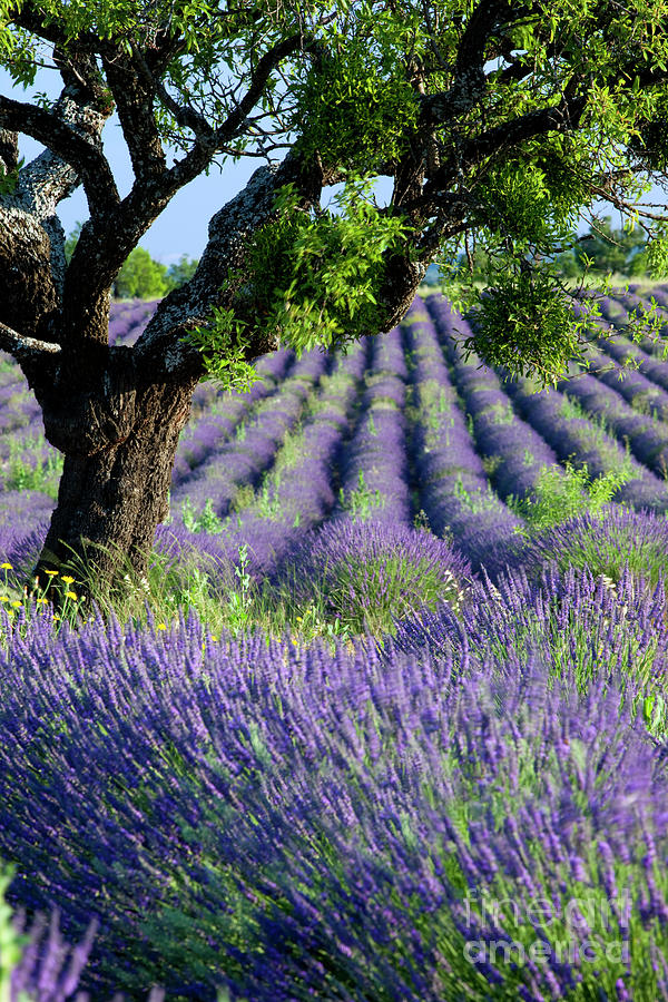 Tree in Lavender by Brian Jannsen
