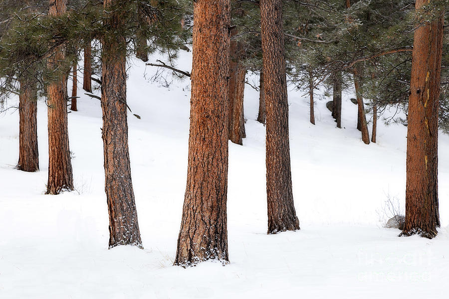 Trees in the Snow by Ronda Kimbrow