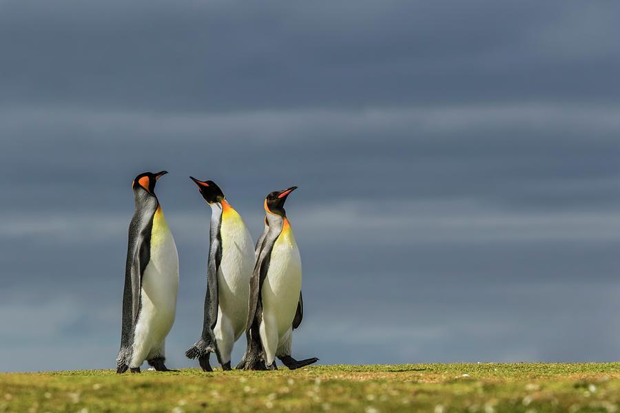 Adam Jones Photograph - Trio Of King Penguins, Volunteer Point by Adam Jones