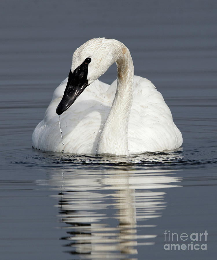 Trumpeter Swan Calming Effect by Sue Harper