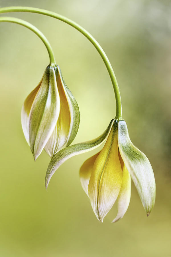 Tulipa by Mandy Disher
