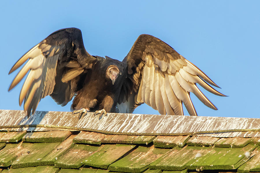 Turkey Vulture Perched on a Roof in Hueston Woods State Park, Ohio by Ami Parikh