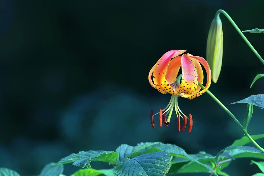 Turkish Cap Lily Photograph