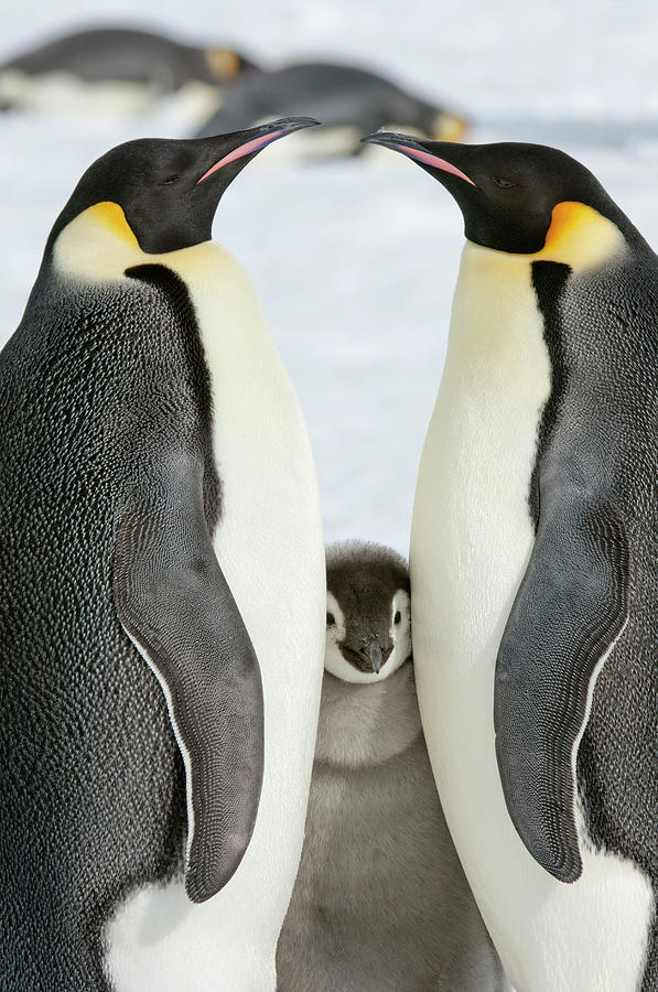 Two Adult Emperor Penguins And A Baby Photograph by Mint Images - David Schultz