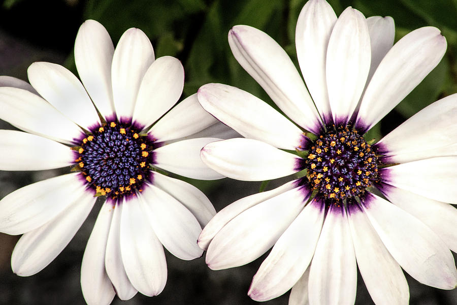 Two African Daisies by Don Johnson