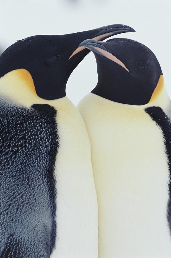 Two Emperor Penguins Aptenodytes Photograph by Joseph Van Os