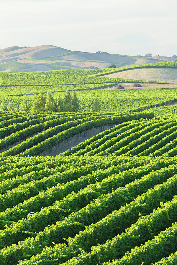 Vineyard Landscape Photograph by S. Greg Panosian