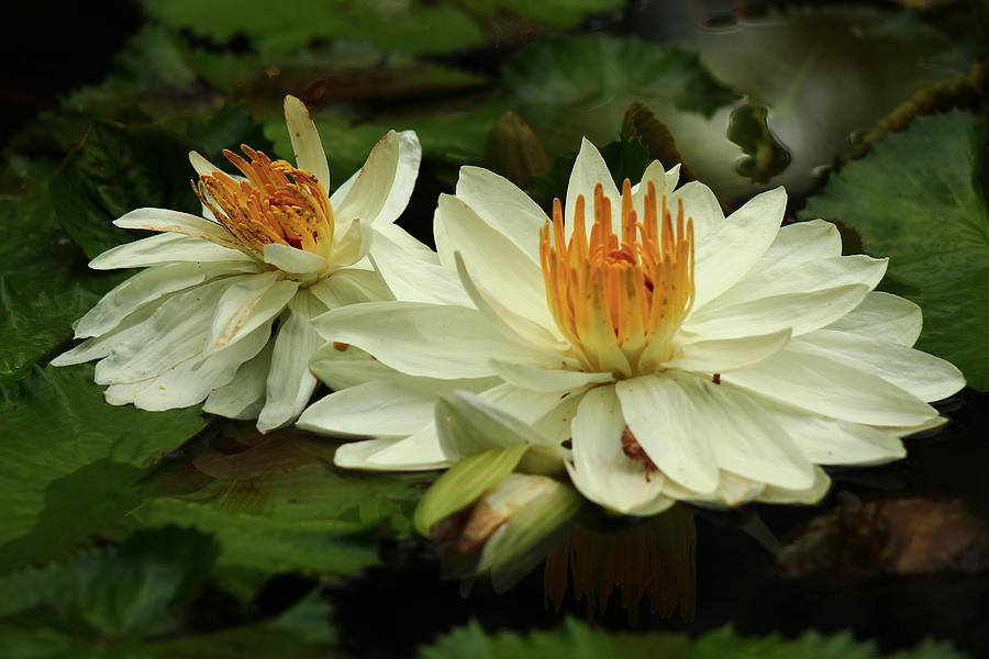 Water Lilies by Kevin Wheeler